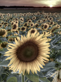 Sunflowers, Norfolk, England, Uk Photographic Print by Alan Copson