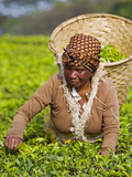 Malawi, Thyolo, Satemwa Tea Estate, a Female Tea Picker Out Plucking Tea Fotografisk tryk af John Warburton-lee