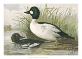 Common Goldeneye Ducks Giclee Print by Jr., A. Pope