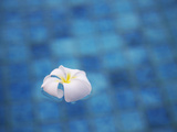 Frangipani Flower in Pool, Ubud, Bali, Indonesia Photographic Print by Ian Trower