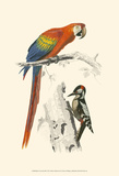 Birds of Costa Rica III Posters by M. Charles D'Orbigny