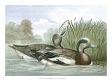 American Wigeon Ducks Giclee Print by Jr., A. Pope