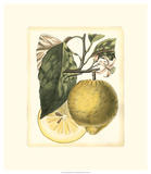 French Lemon Study I Giclee Print by A. Risso
