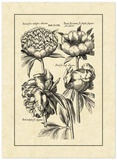 Vintage Besler II Giclee Print by Besler Basilius