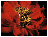 Red Peony II Prints by Christine Zalewski