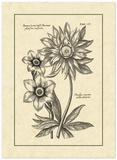 Vintage Besler I Giclee Print by Besler Basilius