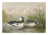 Bufflehead Ducks Giclee Print by Jr., A. Pope