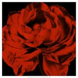 Red Ranunculus Posters by Christine Zalewski