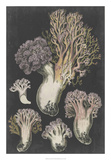 Genus Clavaria I Art by F. Leuba