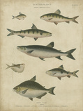 Ichthyology IV Prints by Abraham Rees