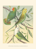 Cassell's Parakeets I Posters by  Cassell