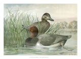 Red Headed Ducks Giclee Print by Jr., A. Pope