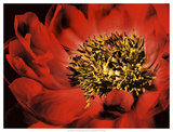 Red Peony I Prints by Christine Zalewski