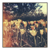 Tulipa Exposta III Poster by Jason Johnson