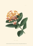 Flowering Shrub III Posters by  Edmonston & Douglas