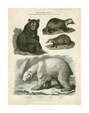 Brown Bear & Polar Bear Prints by Sydenham Teast Edwards