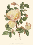 Vintage Roses IV Prints by Vision Studio