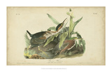 Audubon Green Heron Giclee Print by John James Audubon
