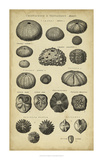 Study of Shells III Posters by  Chambers