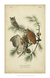 Audubon Screech Owl Prints by John James Audubon