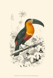 Birds of Costa Rica I Posters by M. Charles D'Orbigny
