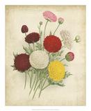 Ranunculus Florilegium II Print