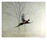 Pheasant Collectable Print by Chris Forrest