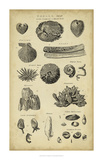 Study of Shells IV Giclee Print by  Chambers