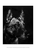 Canine Scratchboard V Prints by Julie Chapman