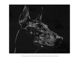 Canine Scratchboard XVI Poster by Julie Chapman