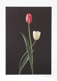 Tulips Collectable Print by Harvey Edwards