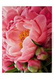 Coral Peonies I Prints by Rachel Perry