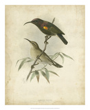 Antique Gould Hummingbird II Giclee Print by John Gould