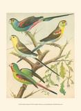 Cassell's Parakeets IV Affiches par  Cassell