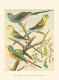 Cassell's Parakeets IV Prints by  Cassell