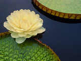 Giant Water Lily, Pantanal, Brazil Photographic Print by Frans Lanting