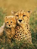 Cheetah and Cub, Masai Mara Reserve, Kenya 写真プリント : フランス・ランティング