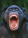Bonobo Grimacing Photographic Print by Frans Lanting