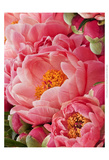 Coral Peonies II Prints by Rachel Perry