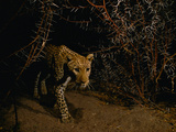 Leopard in Thornbush, Chobe National Park, Botswana Photographic Print by Frans Lanting