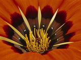 Gazania, Niewoudtville, South Africa Photographic Print by Frans Lanting