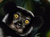Indri Male, Madagascar Photographic Print by Frans Lanting