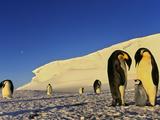Emperor Penguin Family, Weddell Sea, Antarctica Fotografie-Druck von Frans Lanting