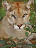 Cougar, Belize Photographic Print by Frans Lanting