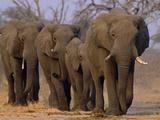 African Elephants Walking, Chobe National Park, Botswana Fotografisk tryk af Frans Lanting