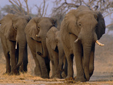 African Elephants Walking, Chobe National Park, Botswana Lmina fotogrfica por Frans Lanting