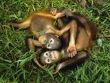 Orphaned Bornean Orangutans, Sepilok Reserve, Sabah, Borneo Fotografisk tryk af Frans Lanting