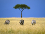 Zebras Grazing, Masai Mara Reserve, Kenya Fotografisk tryk af Frans Lanting