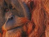 Bornean Orangutan, Borneo Photographic Print by Frans Lanting