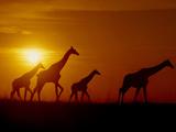 Giraffes at Sunset, Okavango Delta, Botswana Fotografisk tryk af Frans Lanting